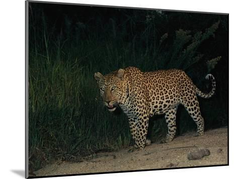 Male Leopard on Patrol at Night-Kim Wolhuter-Mounted Photographic Print