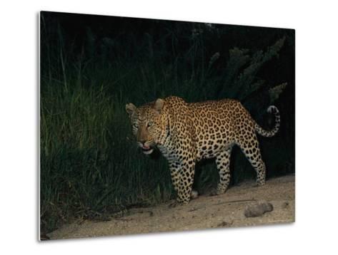 Male Leopard on Patrol at Night-Kim Wolhuter-Metal Print