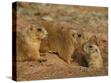 Close View of Three Prairie Dogs at the Entrance to Their Den-Annie Griffiths-Stretched Canvas Print