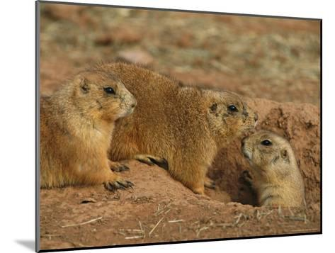 Close View of Three Prairie Dogs at the Entrance to Their Den-Annie Griffiths-Mounted Photographic Print