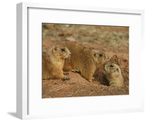 Close View of Three Prairie Dogs at the Entrance to Their Den-Annie Griffiths-Framed Art Print