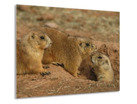 Close View of Three Prairie Dogs at the Entrance to Their Den-Annie Griffiths-Metal Print