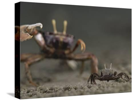 Pincer Claw of a Full-Size Ghost Crab Moves toward a Juvenile Crab-Michael Nichols-Stretched Canvas Print