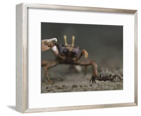 Pincer Claw of a Full-Size Ghost Crab Moves toward a Juvenile Crab-Michael Nichols-Framed Art Print