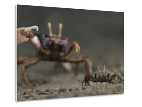 Pincer Claw of a Full-Size Ghost Crab Moves toward a Juvenile Crab-Michael Nichols-Metal Print