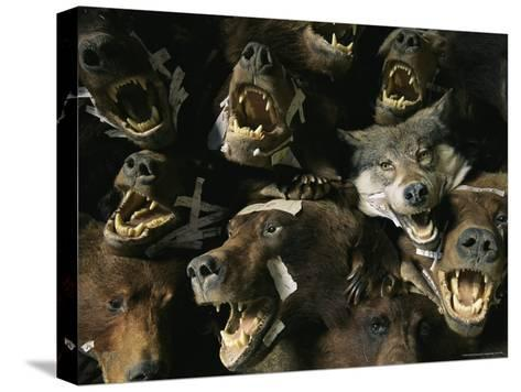Heads of Grizzly Bears and Timber Wolves in a Taxidermists Studio-Joel Sartore-Stretched Canvas Print