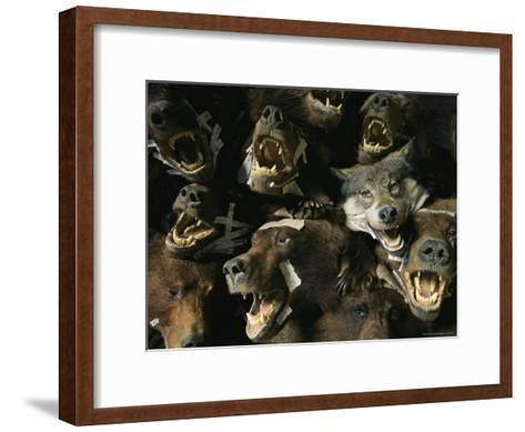 Heads of Grizzly Bears and Timber Wolves in a Taxidermists Studio-Joel Sartore-Framed Art Print