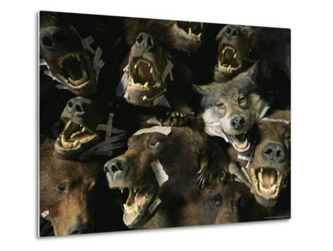 Heads of Grizzly Bears and Timber Wolves in a Taxidermists Studio-Joel Sartore-Metal Print