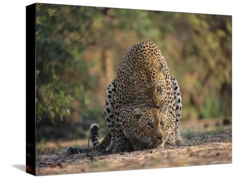 Leopards Mate Hundreds of Times during the Females Week-Long Estrus-Kim Wolhuter-Stretched Canvas Print