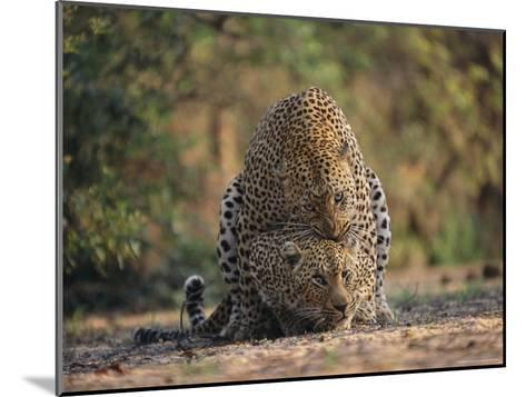 Leopards Mate Hundreds of Times during the Females Week-Long Estrus-Kim Wolhuter-Mounted Photographic Print