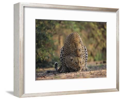 Leopards Mate Hundreds of Times during the Females Week-Long Estrus-Kim Wolhuter-Framed Art Print