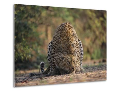 Leopards Mate Hundreds of Times during the Females Week-Long Estrus-Kim Wolhuter-Metal Print