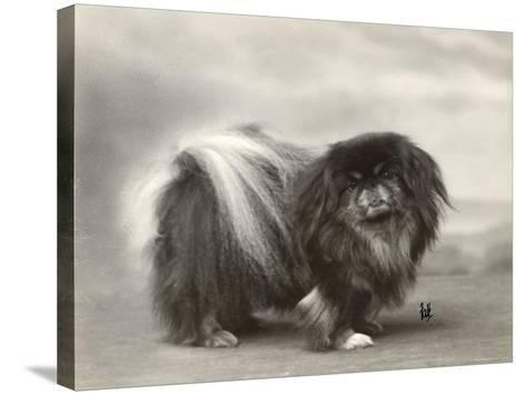 Champion Chien Lung of Wybournes Owned by Mrs Bevington--Stretched Canvas Print