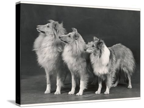 Three Dogs Standing Together--Stretched Canvas Print