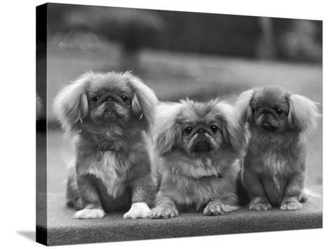 Three Pekingese Puppies One Lying the Other Two Sitting--Stretched Canvas Print