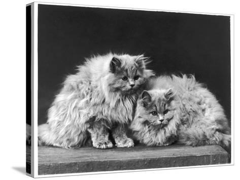 Pair of Very Fluffy Blue Persian Cats Sit Together--Stretched Canvas Print
