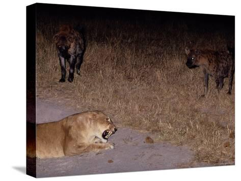 A Lioness Being Threatened by a Band of Spotted Hyenas-Beverly Joubert-Stretched Canvas Print
