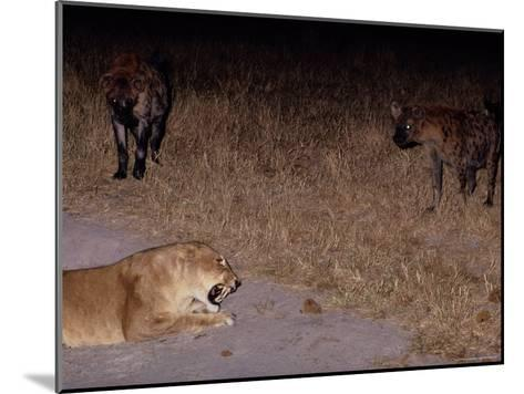 A Lioness Being Threatened by a Band of Spotted Hyenas-Beverly Joubert-Mounted Photographic Print