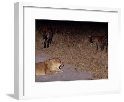 A Lioness Being Threatened by a Band of Spotted Hyenas-Beverly Joubert-Framed Art Print
