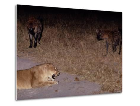 A Lioness Being Threatened by a Band of Spotted Hyenas-Beverly Joubert-Metal Print