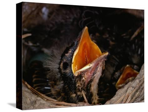 American Robin Chick in Nest-Medford Taylor-Stretched Canvas Print