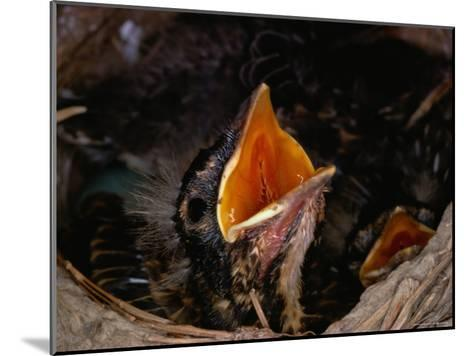 American Robin Chick in Nest-Medford Taylor-Mounted Photographic Print