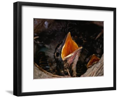 American Robin Chick in Nest-Medford Taylor-Framed Art Print