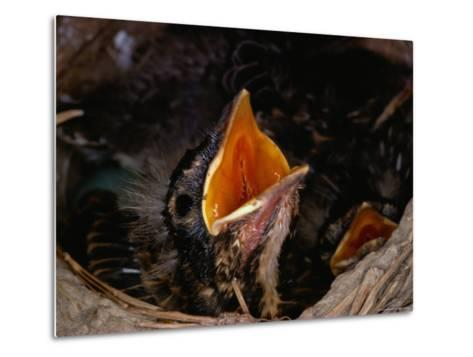 American Robin Chick in Nest-Medford Taylor-Metal Print