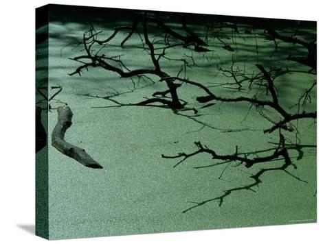 Slough Covered with Duckweed-Raymond Gehman-Stretched Canvas Print