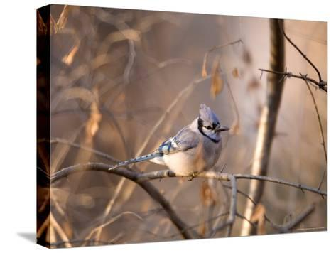 A Blue Jay (Cyanocitta Cristata) Sits in a Tangle of Tree Branches-Joel Sartore-Stretched Canvas Print