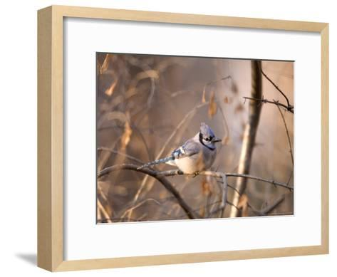 A Blue Jay (Cyanocitta Cristata) Sits in a Tangle of Tree Branches-Joel Sartore-Framed Art Print