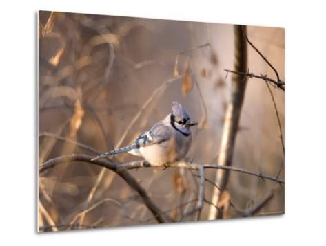 A Blue Jay (Cyanocitta Cristata) Sits in a Tangle of Tree Branches-Joel Sartore-Metal Print