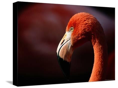 A Portrait of a Captive Greater Flamingo-Tim Laman-Stretched Canvas Print