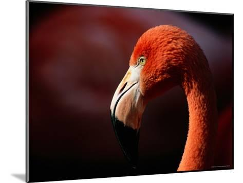 A Portrait of a Captive Greater Flamingo-Tim Laman-Mounted Photographic Print