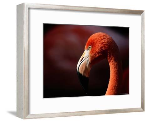 A Portrait of a Captive Greater Flamingo-Tim Laman-Framed Art Print