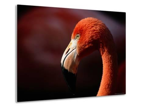 A Portrait of a Captive Greater Flamingo-Tim Laman-Metal Print