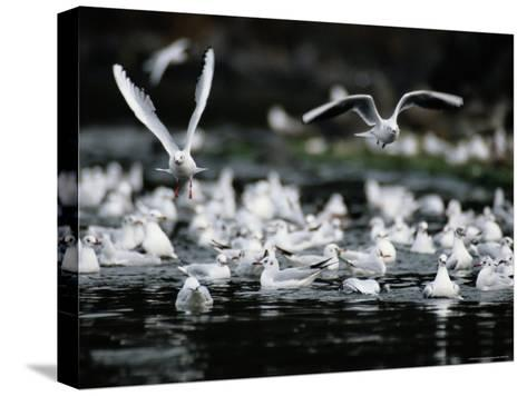 A Large Group of Black-Headed Gulls Fly Away from the Water--Stretched Canvas Print