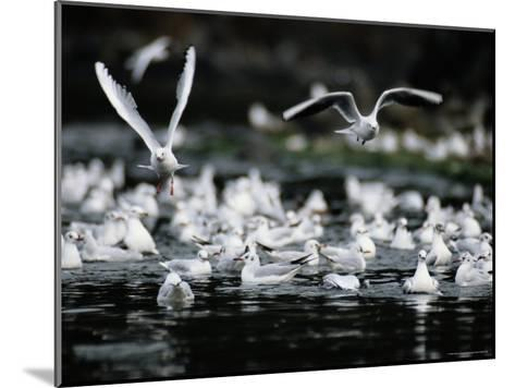 A Large Group of Black-Headed Gulls Fly Away from the Water--Mounted Photographic Print