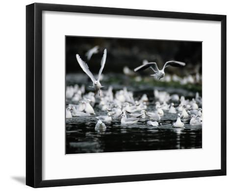 A Large Group of Black-Headed Gulls Fly Away from the Water--Framed Art Print