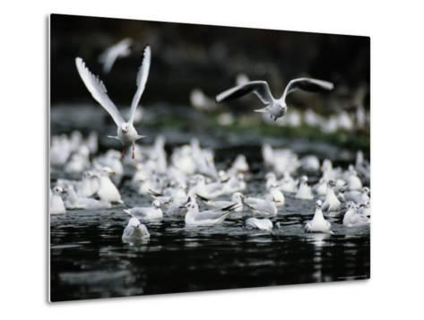 A Large Group of Black-Headed Gulls Fly Away from the Water--Metal Print