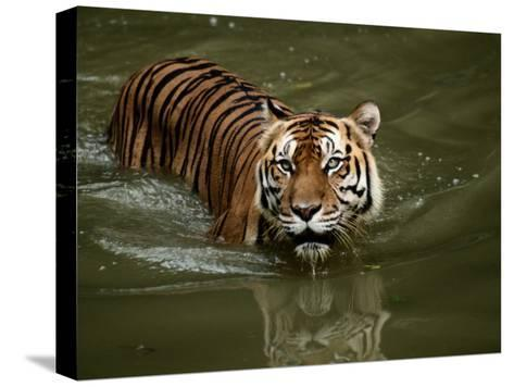 A Captive Sumatran Tiger Takes a Cooling Dip in the Water-Tim Laman-Stretched Canvas Print