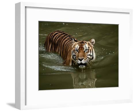 A Captive Sumatran Tiger Takes a Cooling Dip in the Water-Tim Laman-Framed Art Print