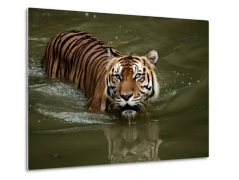 A Captive Sumatran Tiger Takes a Cooling Dip in the Water-Tim Laman-Metal Print