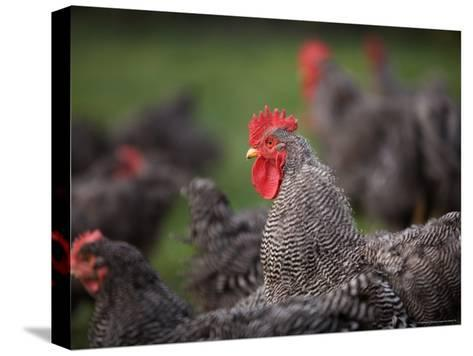 A Barred Plymouth Rock Chicken Free Ranging at a Farm in Kansas-Joel Sartore-Stretched Canvas Print