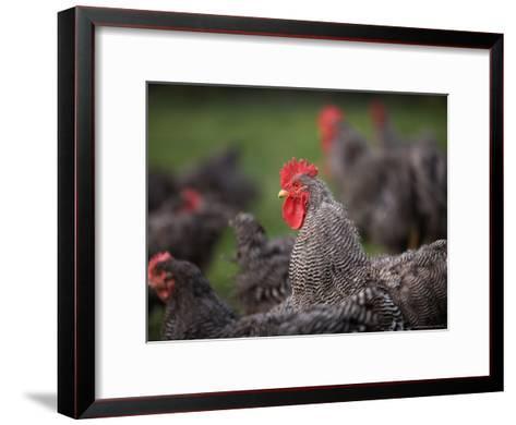 A Barred Plymouth Rock Chicken Free Ranging at a Farm in Kansas-Joel Sartore-Framed Art Print