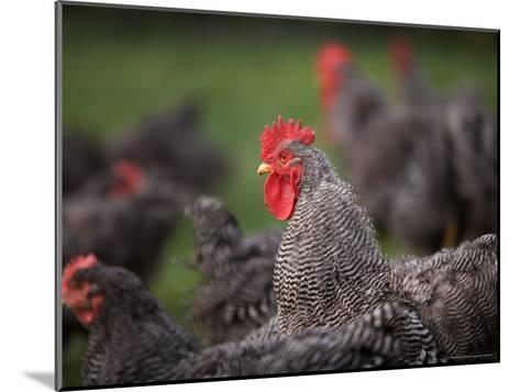 A Barred Plymouth Rock Chicken Free Ranging at a Farm in Kansas-Joel Sartore-Mounted Photographic Print