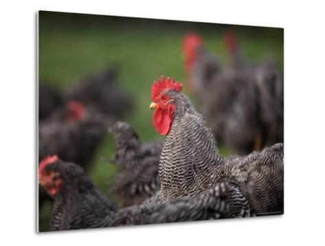 A Barred Plymouth Rock Chicken Free Ranging at a Farm in Kansas-Joel Sartore-Metal Print