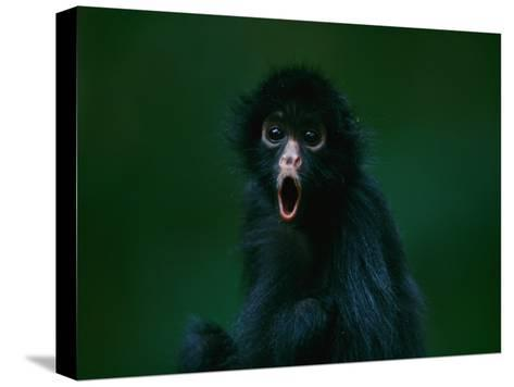 An Orphaned Black-Faced Spider Monkey Named Pulgoso-Joel Sartore-Stretched Canvas Print