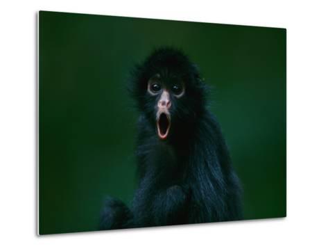 An Orphaned Black-Faced Spider Monkey Named Pulgoso-Joel Sartore-Metal Print