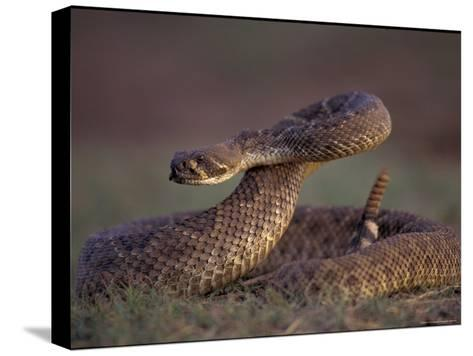A Rattlesnake Coils up in a Threatening Manner-Joel Sartore-Stretched Canvas Print